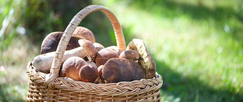 Basket with chic porcini mushrooms on a natural forest background, banner