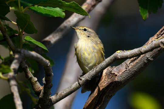 Fitis // Willow Warbler (Phylloscopus trochilus)