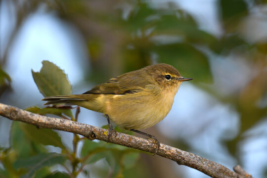 Willow Warbler // Fitis (Phylloscopus trochilus)