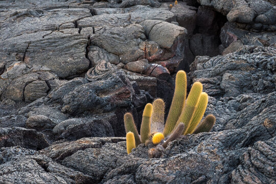 Lava Cactus growing in Ropey Lava flow- Galapagos Islands