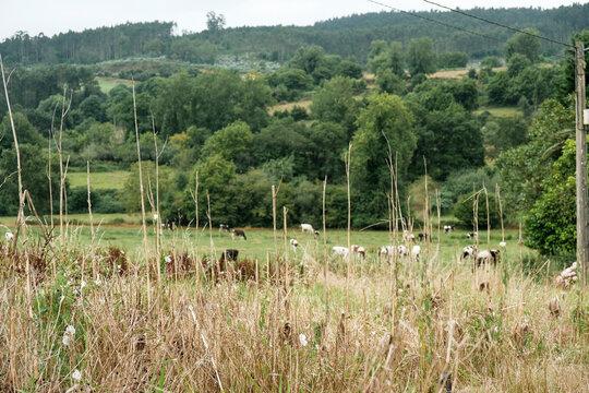 Dairy cows in Asturian fields, Spain