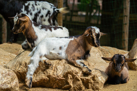 two goats on the farm