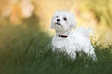 Mały biały piesek stojący w trawie na łące