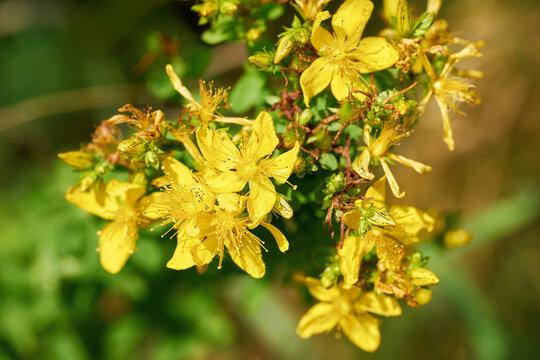 blühendes Johanniskraut (Hypericum perforatum), ein beliebtes Heilkraut in der Kräutermedizin