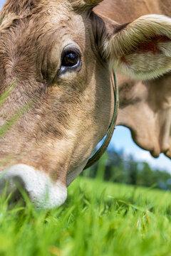 Allgäu - Kuh - Wiese - Braunvieh - kopf - futter