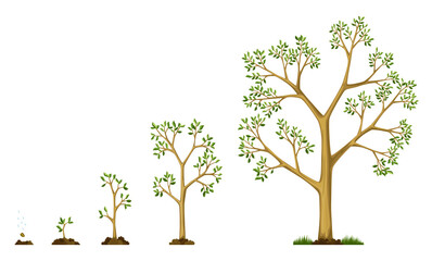 Obraz Stages growth of tree from seed. Watering the seeds. Collection of trees from small to large. Green tree with leaf growth steps. Illustration of business cycle development - fototapety do salonu