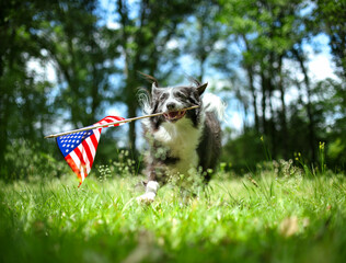 Fototapeta Happy border collie dog running and playing outside and carrying the US American flag. Patriotic concept for 4th of July, Memorial day, Labor day, or other USA holiday. obraz