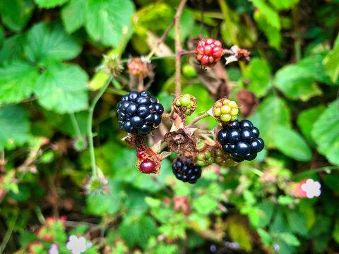 British blackberries bush