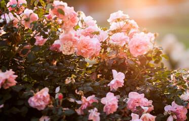 Obraz Róże i zachód słońca  - fototapety do salonu