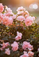 Krzew róż
