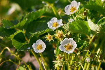 Kwitnący na biało krzew truskawek