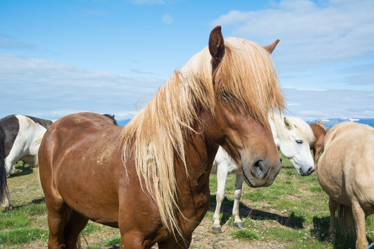 Icelandic horse in the meadow