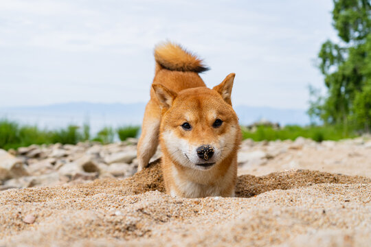 Happy red shiba inu dog plays on the sand. Red-haired Japanese dog smile portrait.