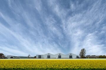 Narcissus field near Sassenheim, Zuid-Holland province, The Netherlands