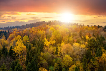 Obraz View from above of dense pine forest with canopies of green spruce trees and colorful yellow lush canopies in autumn mountains at sunset. - fototapety do salonu