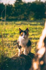 Piękny kot o złotej godzinie