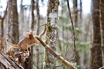 The Abyssinian cat hunts like a cougar in the wild forest. The cat climbs a tree in the forest. The cat hunts in the forest close-up. A hunting cat climbs a tree in a primeval forest. Wild nature.
