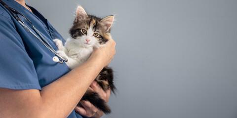 Fototapeta Veterinarian doctor examining a long haired tortoiseshell kitten background obraz