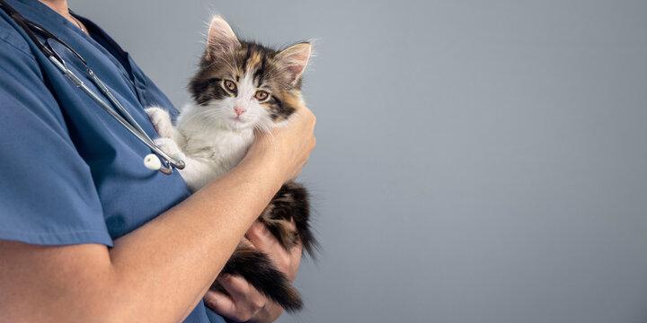 Veterinarian doctor examining a long haired tortoiseshell kitten background