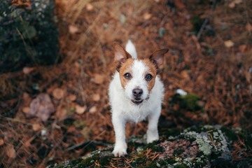 Fototapeta dog stands and holds on to a stone. jack russell in autumn park.  obraz