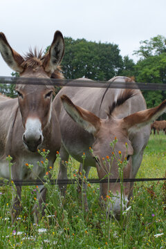 beautiful rare African mother donkey with his baby grazing flowers