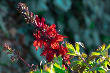 Obraz Lobelia okazała kwiat ogrodowy w pełnym rozkwicie - fototapety do salonu