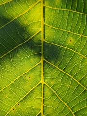 Zielony podświetlony liść