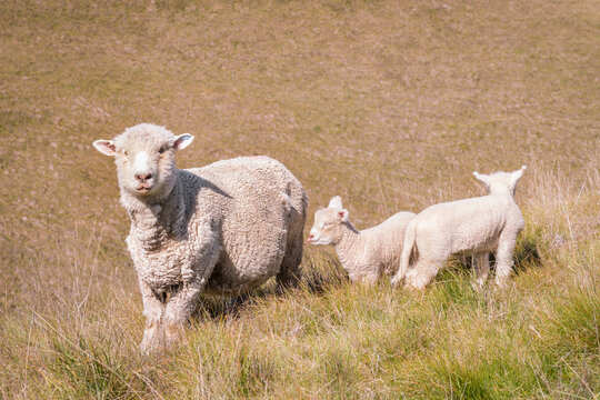 closeup of ewe with two newborn lambs on grassy slope
