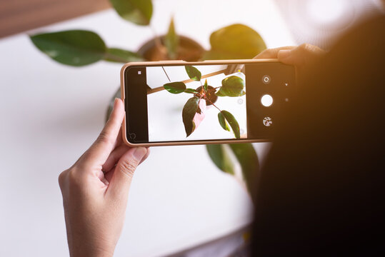 Woman taking a photo beautiful plant in pot with cell phone indoor,House plants