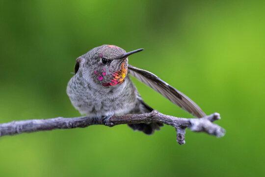 Anna's hummingbird bird