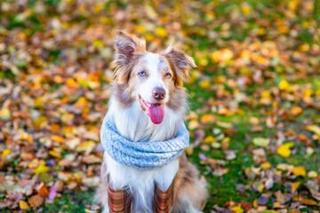 Fototapeta Border collie dog wearing rubber boots warm scarf sits at autumn park obraz
