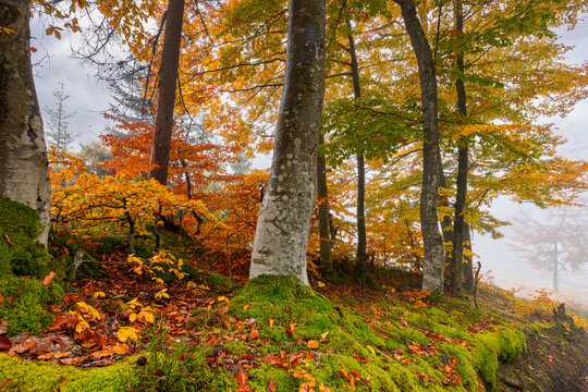 autumn forest on a misty morning. beech trees in colorful foliage. beautiful nature background. rainy weather