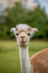 Cute alpaca on alpaca farm sweet animals wool