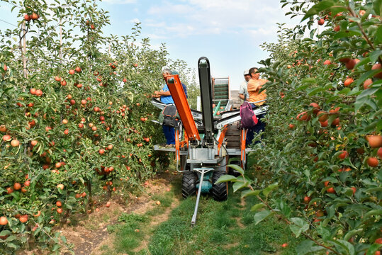 harvest assistant on a machine for automatic harvesting of ripe fresh apples on a plantation