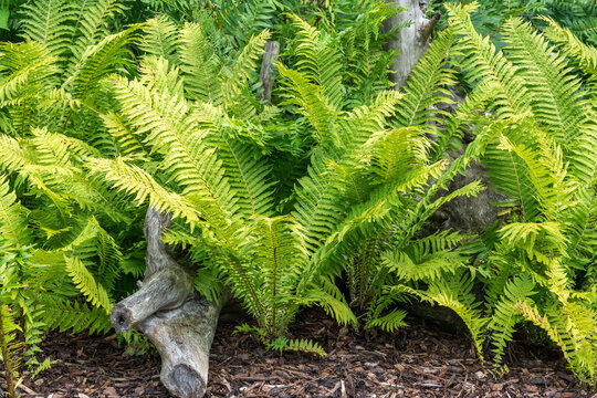 Matteuccia Struthiopteris a fern plant with green fronds throughout spring summer and autumn which is commonly known as ostrich or shuttlecock fern, stock photo image