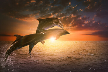 Fototapeta Beautiful bottlenose dolphins jumping out of sea at sunset obraz