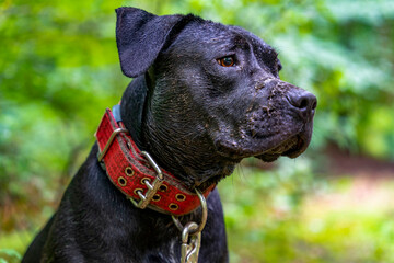Obraz Czarny terier brudny od błota, portret. - fototapety do salonu