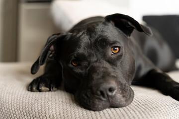 Czarny pies leży na kanapie i patrzy prosto w kamerę.