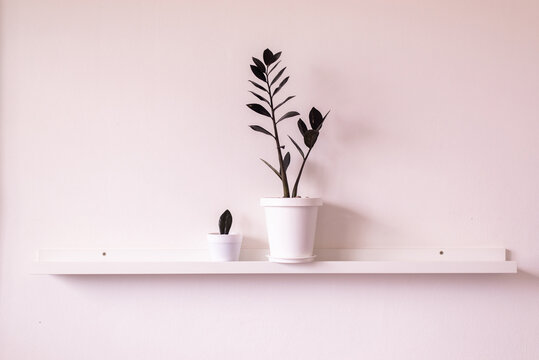 Black zamioculcas in potted on shelf interior design in living room,Cozy home,Beautiful indoor house plants