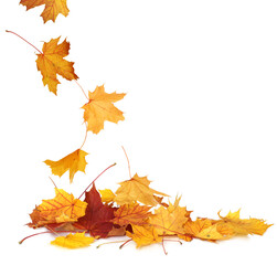 Pile of autumn colored leaves isolated on white background.A heap of different maple dry leaf .Red...