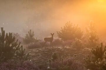 Misty Dutch heathland landscape with roe deer - Hondsrug, Drenthe, Netherlands.