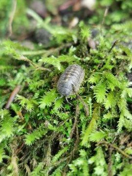 Kellerassel  (Porcellio scaber) - kleine Insekten sind wichtig für die Bodenkultur