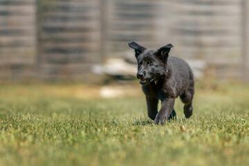 Fototapeta Szczeniak pies czarny owczarek niemiecki biegający po trawie w ogrodzie obraz