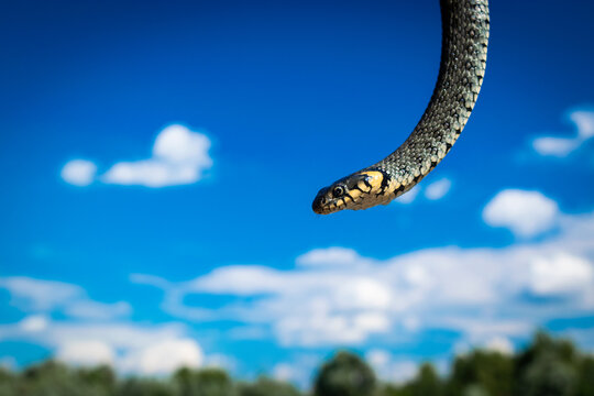 Grass snake, sometimes called the ringed snake or water snake close up on blue cloudy sky background..