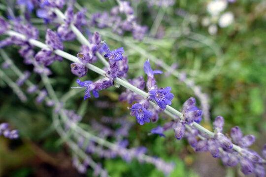 Blüten der Silber-Perowskie oder Blauraute  (Perovskia atriplicifolia) in Nahaufnahme
