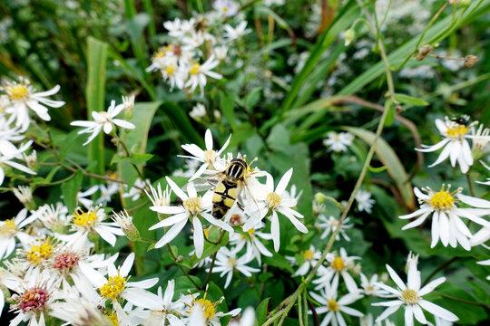Weisse Wald-Aster (Eurybia divaricata, Syn.  Aster divaricatus)