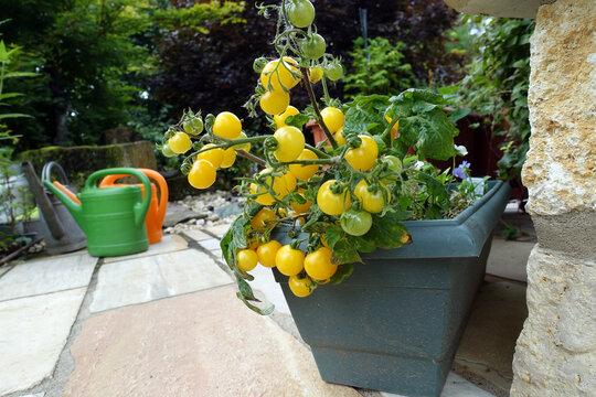 gelbe Cocktailtomaten gedeihen im Blumenkasten auf der Terrasse
