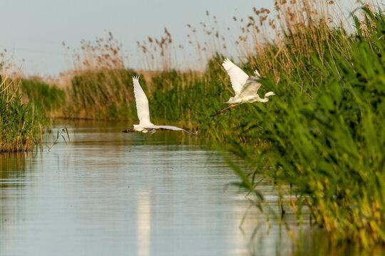 great egret in flight, danube delta