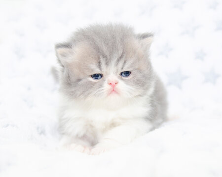cute persian exotic cat kitten on isolated white background