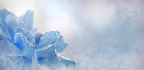 Niebieska roza  kwiat,  panorama.